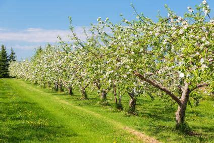 obstbäume vor schützen spinnmilbenbefall an obstb 228 umen infos gegenmittel