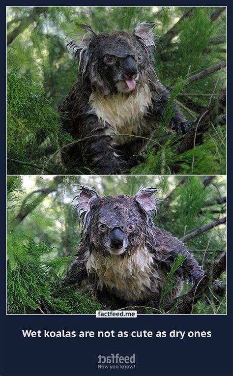 wet koalas    cute  dry  factfeed official
