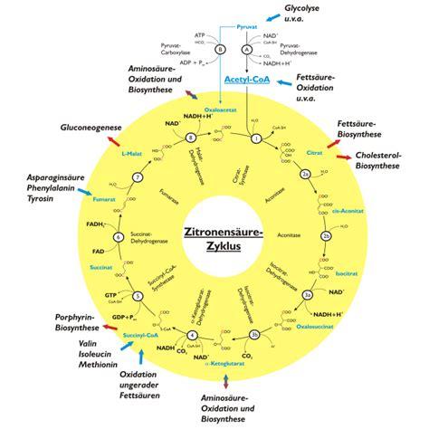 Enzyme verdauung