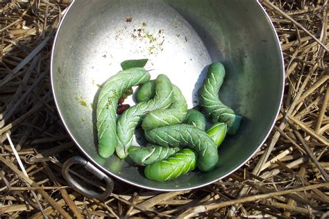 how do i get rid of tomato worms tomato hornworms are back all things green