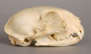 cat skull will s skull page domestic cat skull lateral view