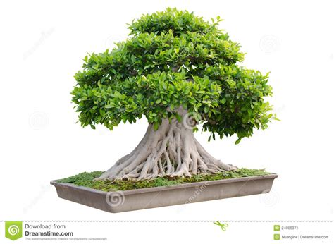 in a pot bonsai tree in a pot stock image image of tree leafs 24096371