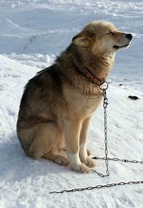 Greenland dog. Greenland dogs was the breed of sled dogs ...