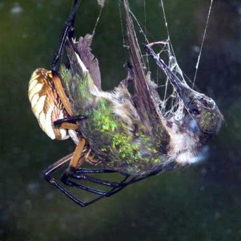 black and yellow argiope spider bite