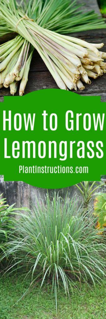 how to use lemongrass how to grow lemongrass plant instructions