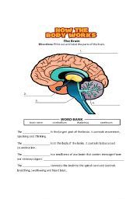 nervous system worksheet coloring page  anatomy