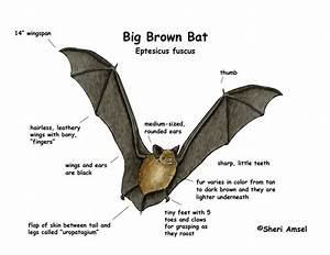 Bat  Big Brown