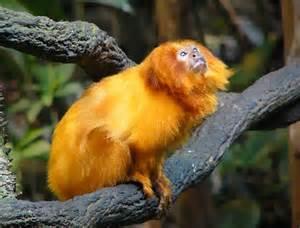 Golden Tamarin Monkeys