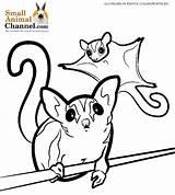 Glider Sugar Coloring Animal Colouring Animals sketch template