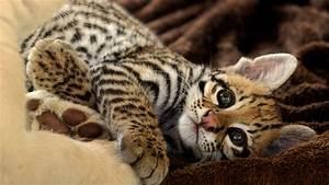 Ocelot Kitten Full HD Wallpaper and Background | 1920x1080 ...