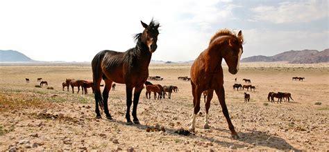 horses wild namib desert namibia hurd africa magazine judy scott africageographic