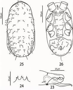 Leioseius Basis Karg  Male  23  Antiaxial View Of