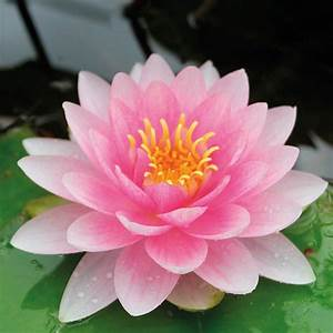 Water Lily Darwin  Hollandia  From Mr Fothergill U0026 39 S Seeds