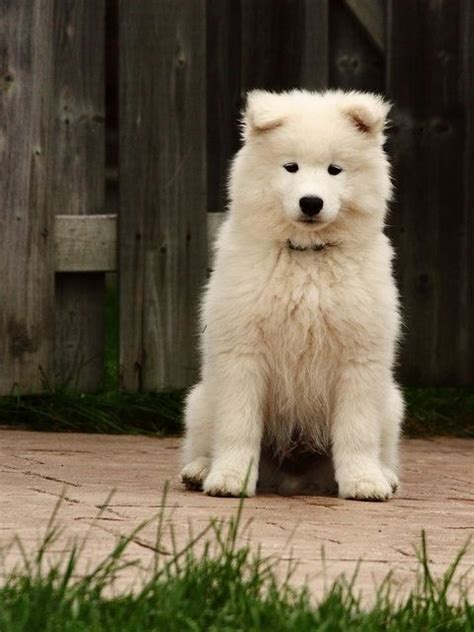 17 Best Images About Samoyed On Pinterest Pets Puppys