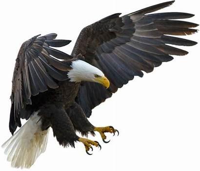 Elang Lambang Amerika Negara Burung Eagle Bald
