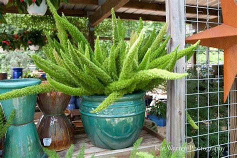 chatty cathy foxtail fern asparagus fern florida