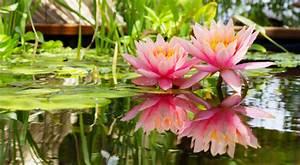Pflanzen Im Mai : seerosen in den teich pflanzen das gartenmagazin ~ Buech-reservation.com Haus und Dekorationen