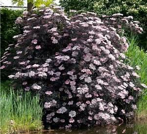 Holunder Black Beauty Standort : sambucus nigra black lace eva laubgeh lze ~ Michelbontemps.com Haus und Dekorationen