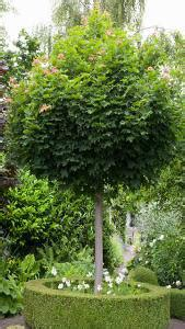 acer platanoides globosum acer platanoides globosum or mop maple tree for sale uk