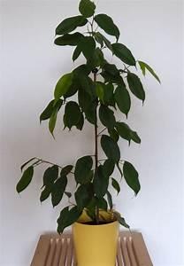 Ficus Benjamini Kaufen : kr ftiger ficus benjamini kaufen auf ricardo ~ A.2002-acura-tl-radio.info Haus und Dekorationen