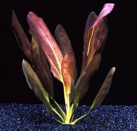 Was Ist Eine Solitärpflanze by Echinodorus X Barthii Doppelt Rot Barths Schwertpflanze