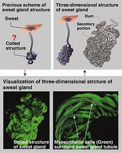 Detailed Structure Of The Sweat Gland Revealed