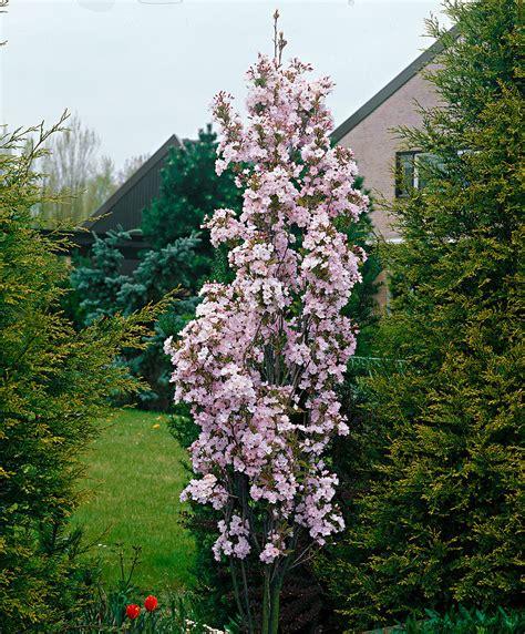 prunus trees for small gardens prunus amanogawa bakker com