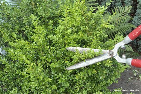 buchsbaum wann schneiden buchsbaum schneiden wann ist der beste zeitpunkt formschnitt