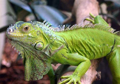 iguana pet mthsecology iguana