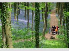 Hallerbos info flowering bluebells walks hiking map