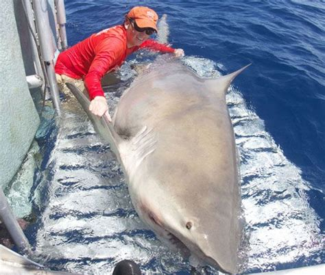 Should i buy bitcoin now? Giant, 1,000-pound bull shark takes researchers by ...