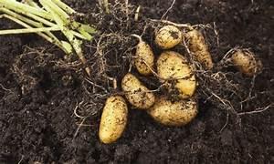Culture De La Patate Douce : conseils pour cultiver des patates douces et des pommes de ~ Carolinahurricanesstore.com Idées de Décoration