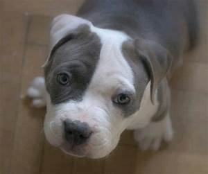 Blue nose pitbull puppy | Blue Nose Pits | Pinterest ...