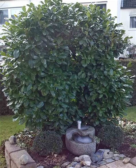 kirschlorbeer im herbst pflanzen immergr 252 ne pflanzen f 252 r den garten im winter der wohnsinn