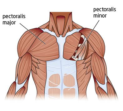 Diagram Pectorali Major by Push Ups Or Bench Press For A Better Chest Greatist