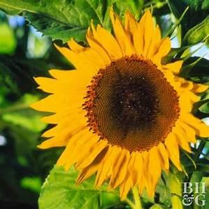 Sunflower  Annual