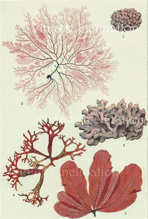 vintage botanical print antique  seaweed botanical