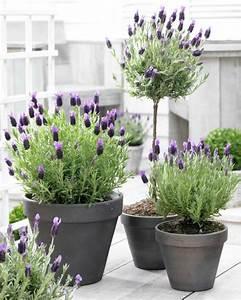 Lavendel Pflanzen Balkon : lavendel wirkung und einsatzbereiche wissenswertes und ~ Lizthompson.info Haus und Dekorationen