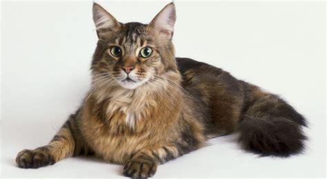 quanto vivono i gatti persiani gatti di razza il gatto maine coon petpassion