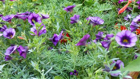 drought tolerant ground cover 6 top drought resistant ground covers all summer long
