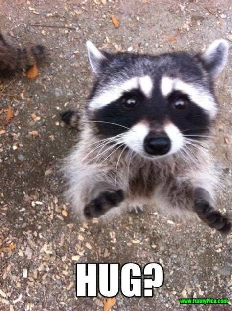 Funny Raccoon Meme - crazy but funny raccoon 30 of 30 funny pinterest funny raccoons raccoons and fur babies