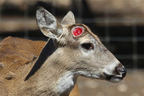 machine shed davenport thanksgiving do deer shed their antlers 28 images why do deer lose