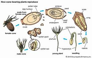 how cone-bearing plants reproduce -- Kids Encyclopedia ...