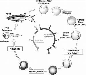 Life Cycle Of The Zebrafish  Zebrafish Develop Rapidly From A One