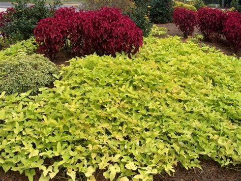 Decorative Potato Plant - kindred spirits blackie ornamental sweet potato