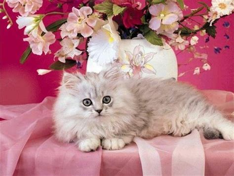 cat  pink cats animals background wallpapers