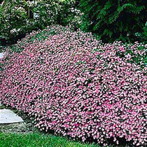 flowers that spread quickly mediterraneum pinks