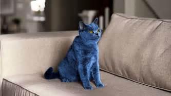 blue cat big blue cat breeds picture