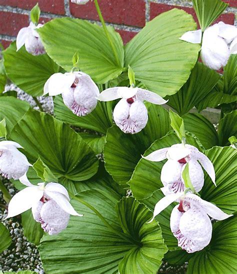 Freilandorchidee 'formosana'  Orchideen Winterhart Bei