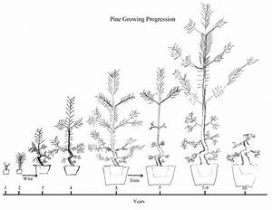 diagram of a white pine tree download wiring diagrams With wiring bonsai roots